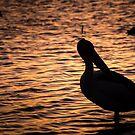 Pelican by Adam1965