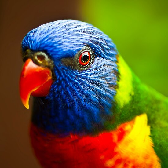 Rainbow Lorikeet V Detail by Damienne Bingham