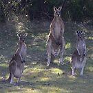The 3 Kangaroos by Sprinkla