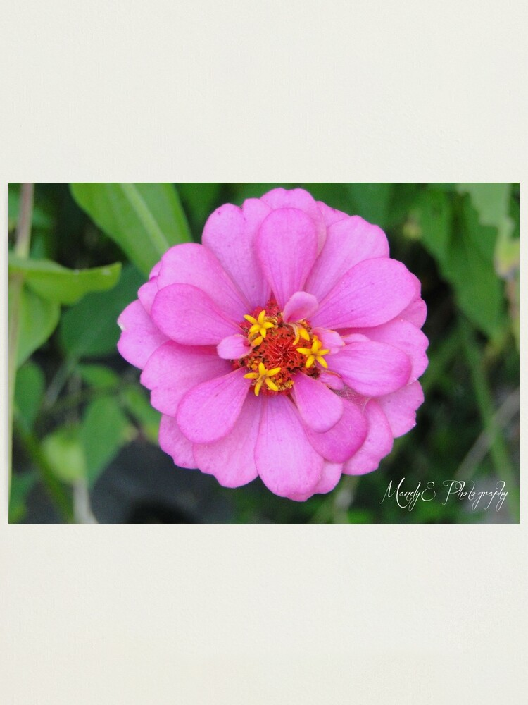 Alternate view of Pink Wildflower #2 Photographic Print