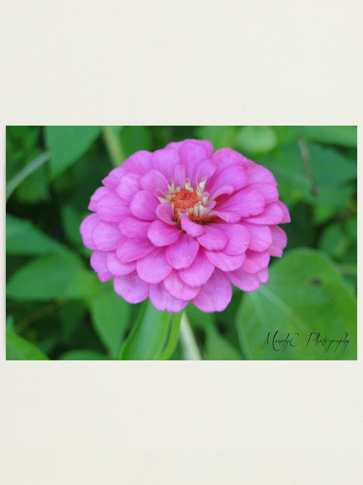 Alternate view of Pink Wildflower #3 Photographic Print