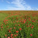 Wild red poppies on mid-Hampshire Downs, southern England by Philip Mitchell