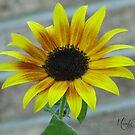Sunflower #1 by Br0wnEyedQueen