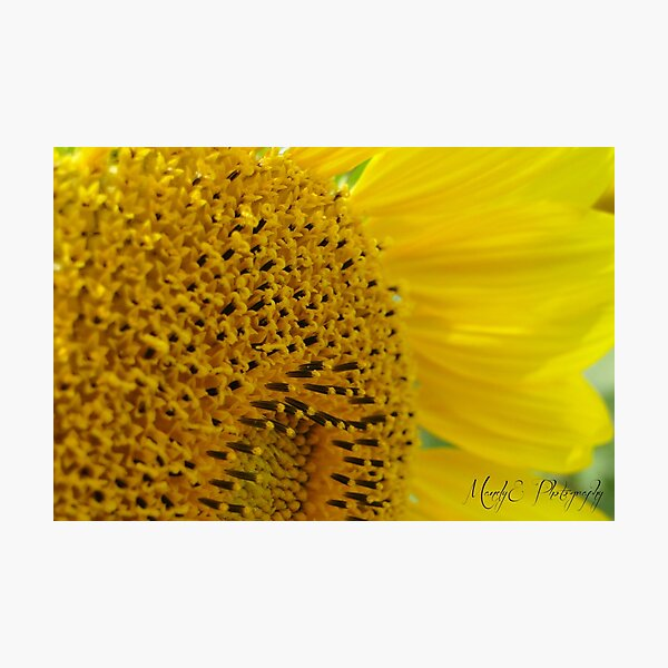 Sunflower #2 Photographic Print