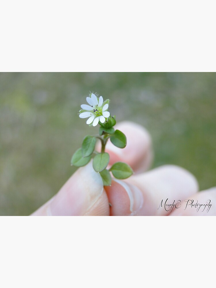 Tiny White Flower by Br0wnEyedQueen