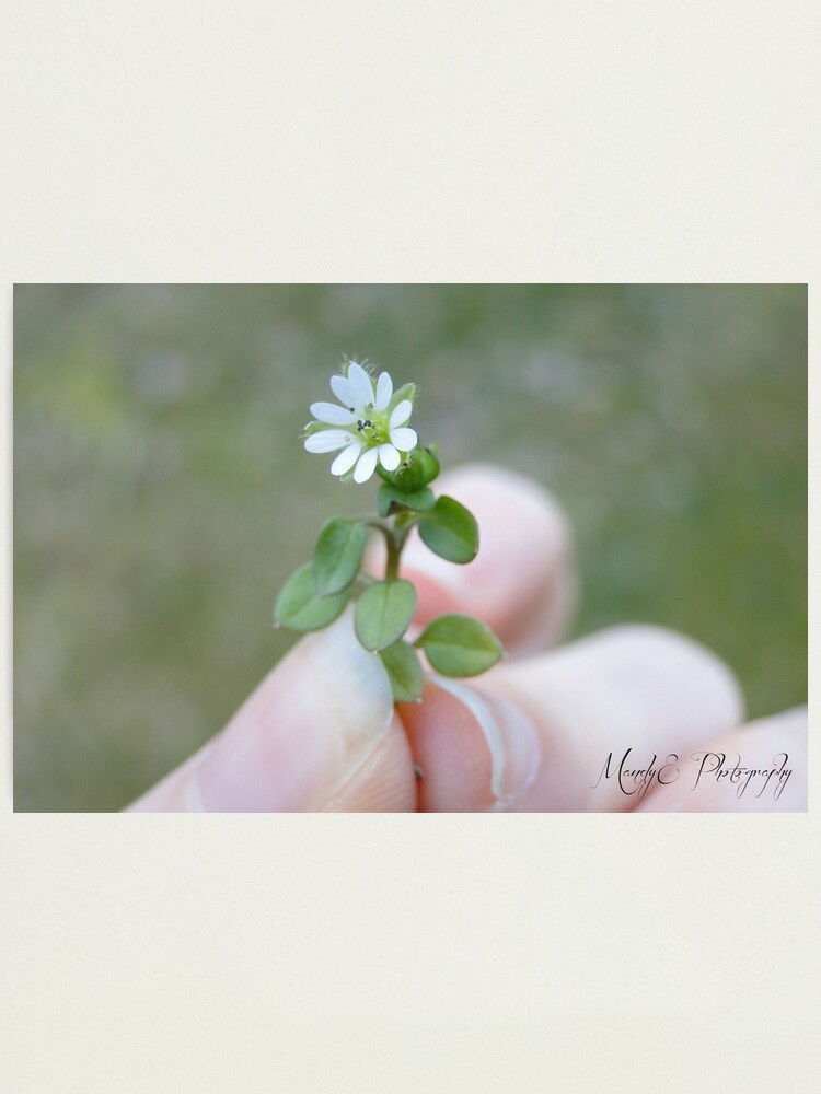 Alternate view of Tiny White Flower Photographic Print