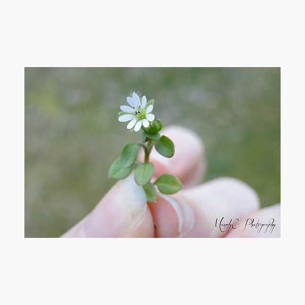 Tiny White Flower Photographic Print