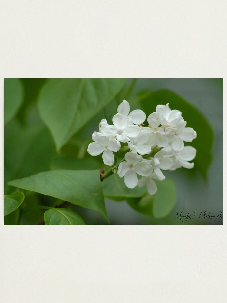 Alternate view of White Lilac Photographic Print