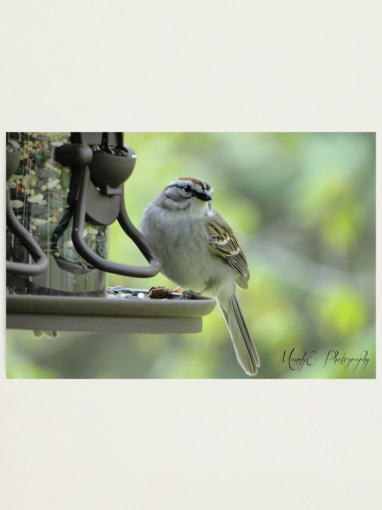 """Alternate view of Wren #2 """"Get my good side"""" Photographic Print"""