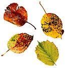 Autumn leaf 3 by ColourCottage