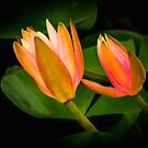 Lotus Buds by Bette Devine