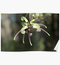 Green Spider Flower Poster