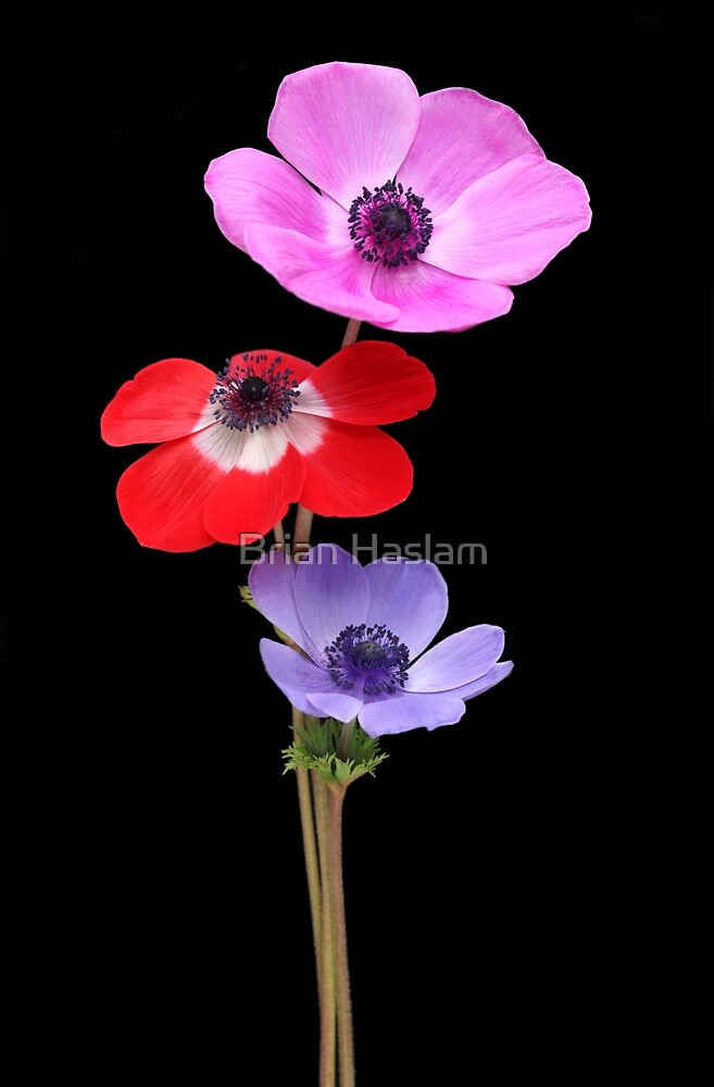 Anemones by Brian Haslam