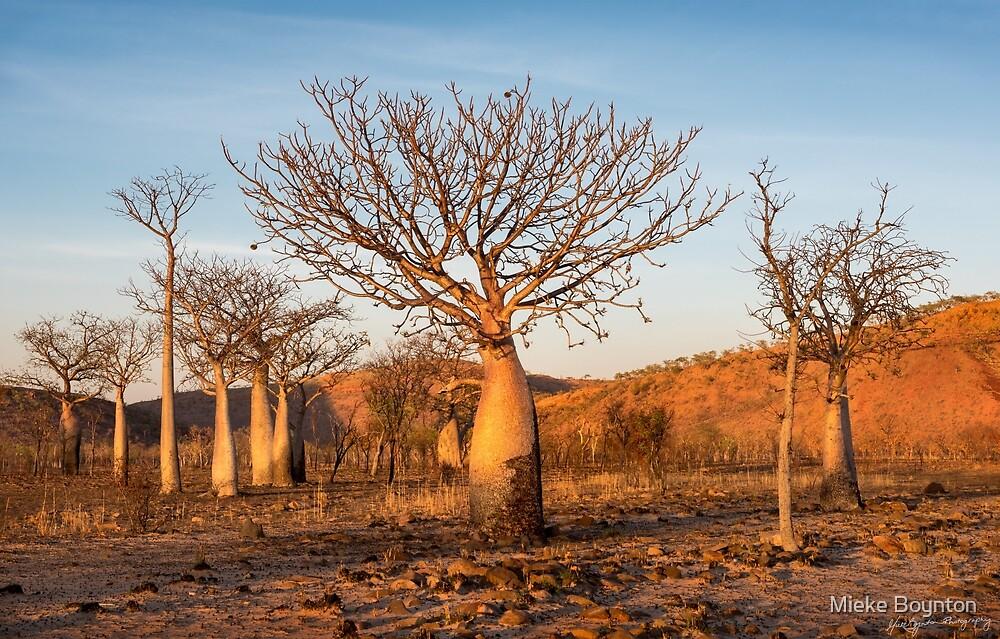 Sunkissed Boab Trees by Mieke Boynton