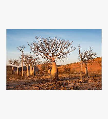 Sunkissed Boab Trees Photographic Print