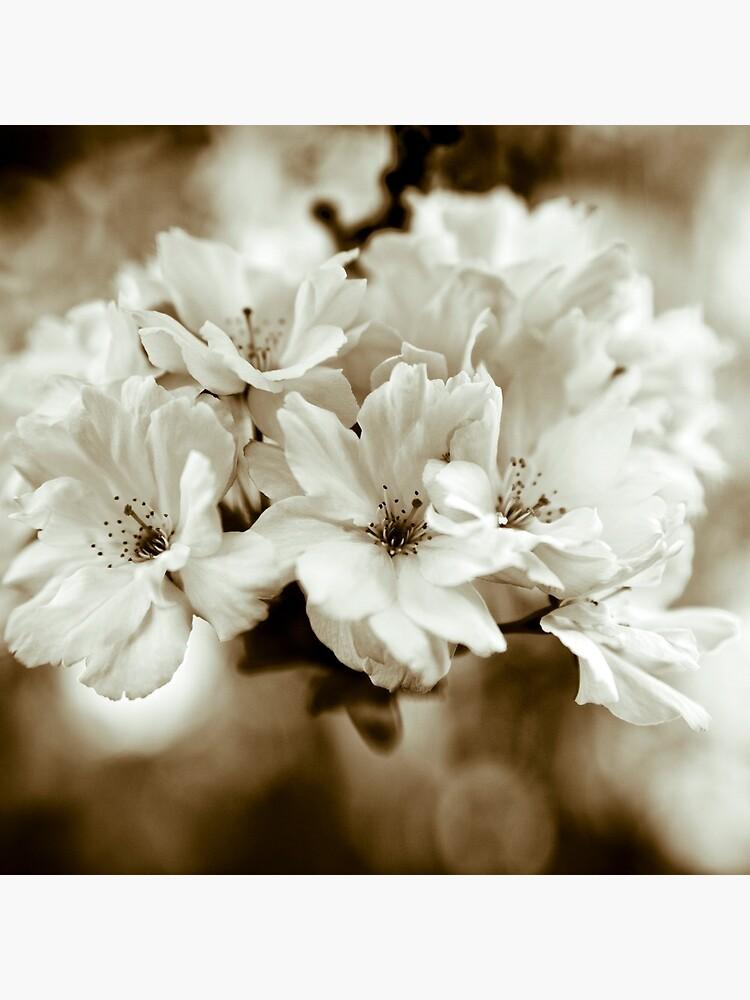 Sakura by gardenpictures