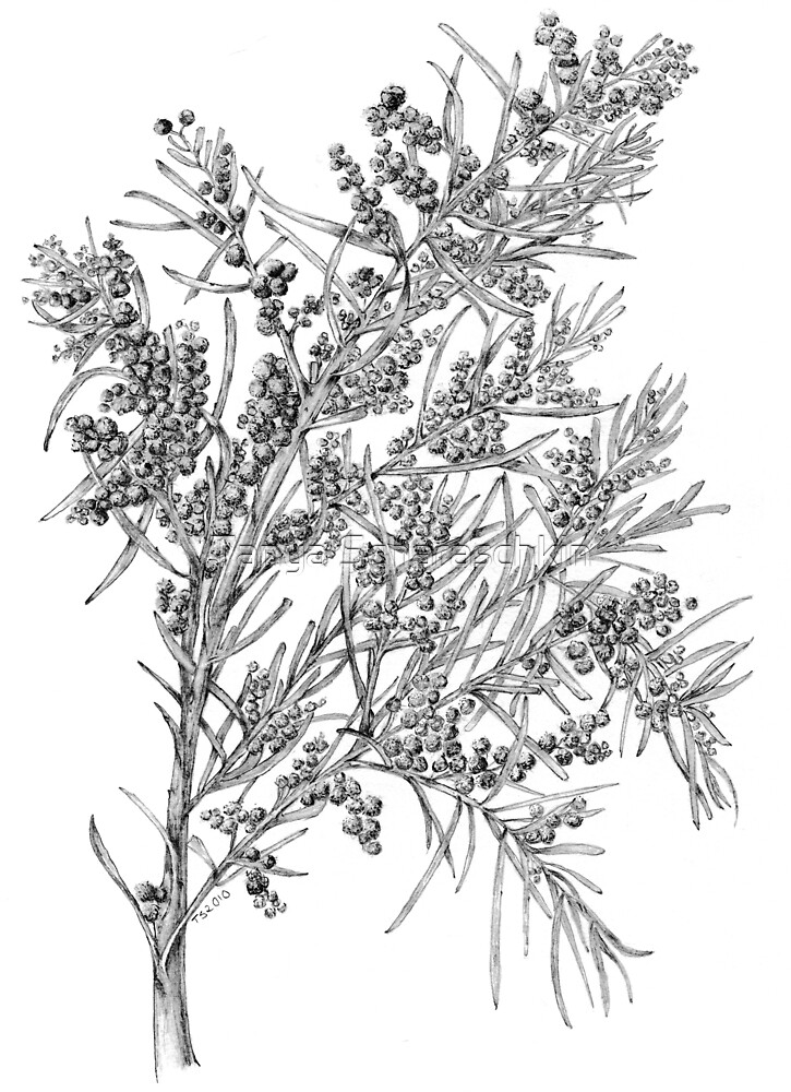 Wattle- Acacia fimbriata- graphite by CraftyTiger