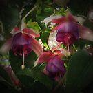 Fuschias by Tama Blough
