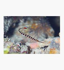 Naia Pipefish Photographic Print