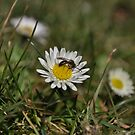 Small black wasp on Daisy by TheKoopaBros