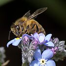 Honey Bee on a flower by Peter Eshuis
