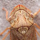 Black Flat-head Leafhopper Macro by Andrew Trevor-Jones