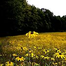 Field of Black-eyed Susans by Wayne King