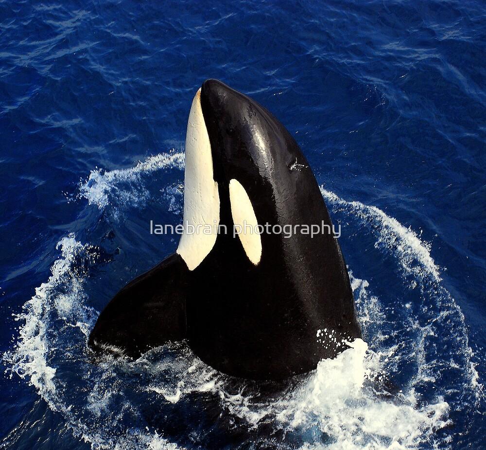 Killer Whale #17 by lanebrain photography