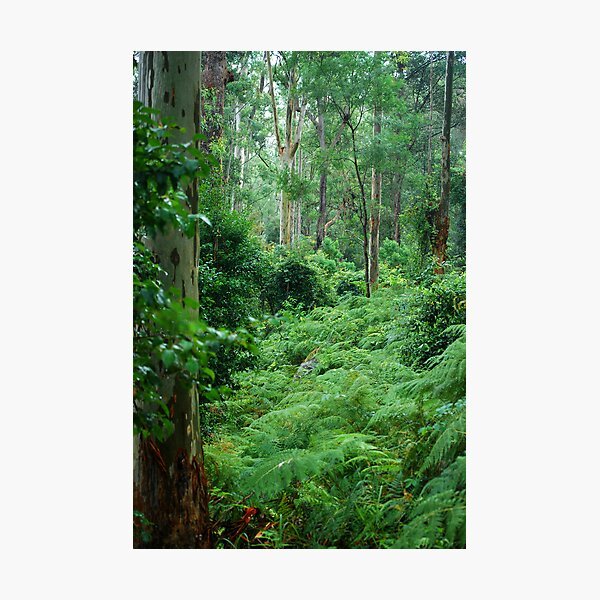 Ferny Forest - Mill Creek NSW Photographic Print