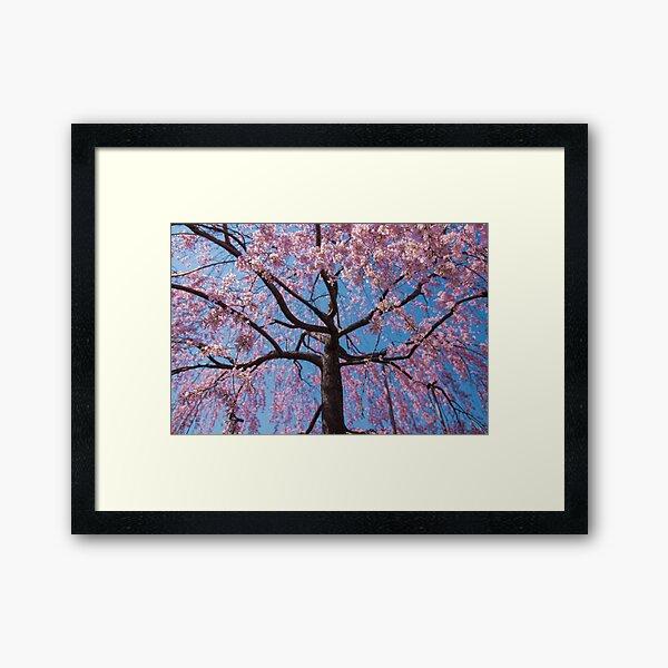 Sakura in Pink and Blue - Japanese Cherry Blossoms Framed Art Print