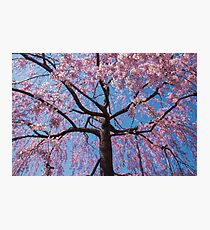 Sakura in Pink and Blue - Japanese Cherry Blossoms Photographic Print