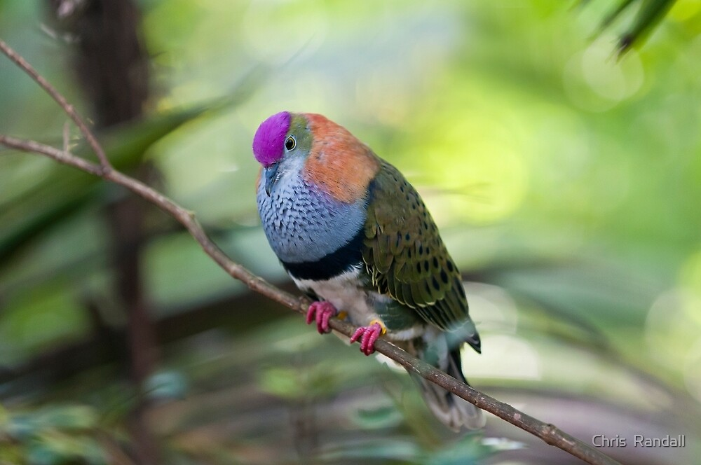 "Colourful ""Superb Fruit Dove"" by Chris  Randall"