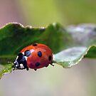 Ladybug Bridge by Bonnie T.  Barry