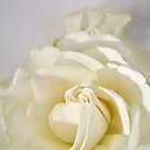 White Rose Brushed with Light 1337 by Candy Paull