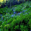A carpet of beautiful blue lupines.  by Elaine Bawden