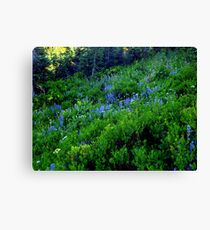 A carpet of beautiful blue lupines.  Canvas Print