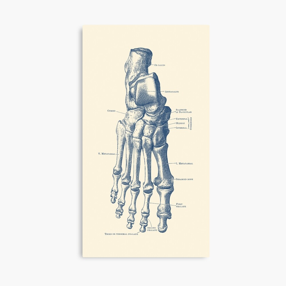 Right Foot Skeletal Diagram Photographic Print By Vaposters Redbubble