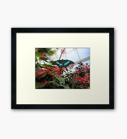 Blue And Black Butterfly on Red Flower  Framed Print