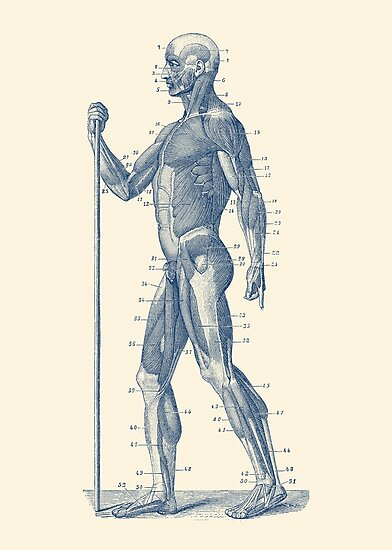 Side View Human Muscle System Anatomy Diagram Photographic