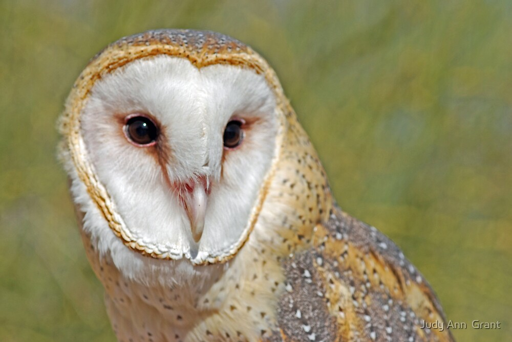 Barn Owl Portrait  by Judy Ann  Grant
