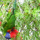 Lorikeet  by Virginia McGowan