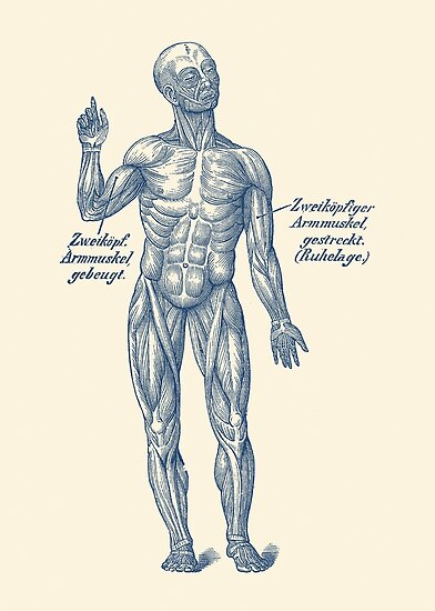 Arm Muscular System German Diagram Posters By Vaposters Redbubble