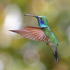 Green Violetear Hummingbird by Carole-Anne