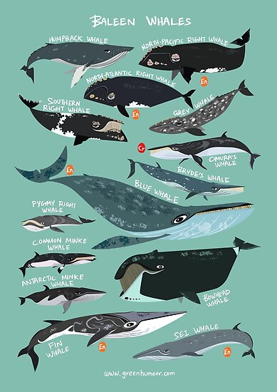 Quot Baleen Whales Quot Posters By Rohanchak Redbubble