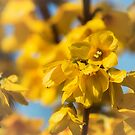 Forsythia by ColourCottage
