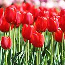 Tulips by BryanLee