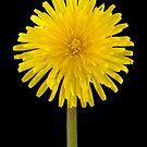 Dandelion Flower by Mick House