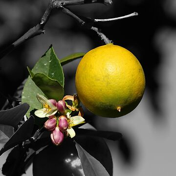 Lemon and Blossoms on a Tree Selective Color Photograph by rhamm