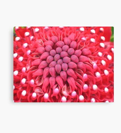 Waratah Heart Canvas Print