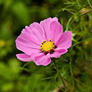 Cosmos Flower by evelynlaeschke